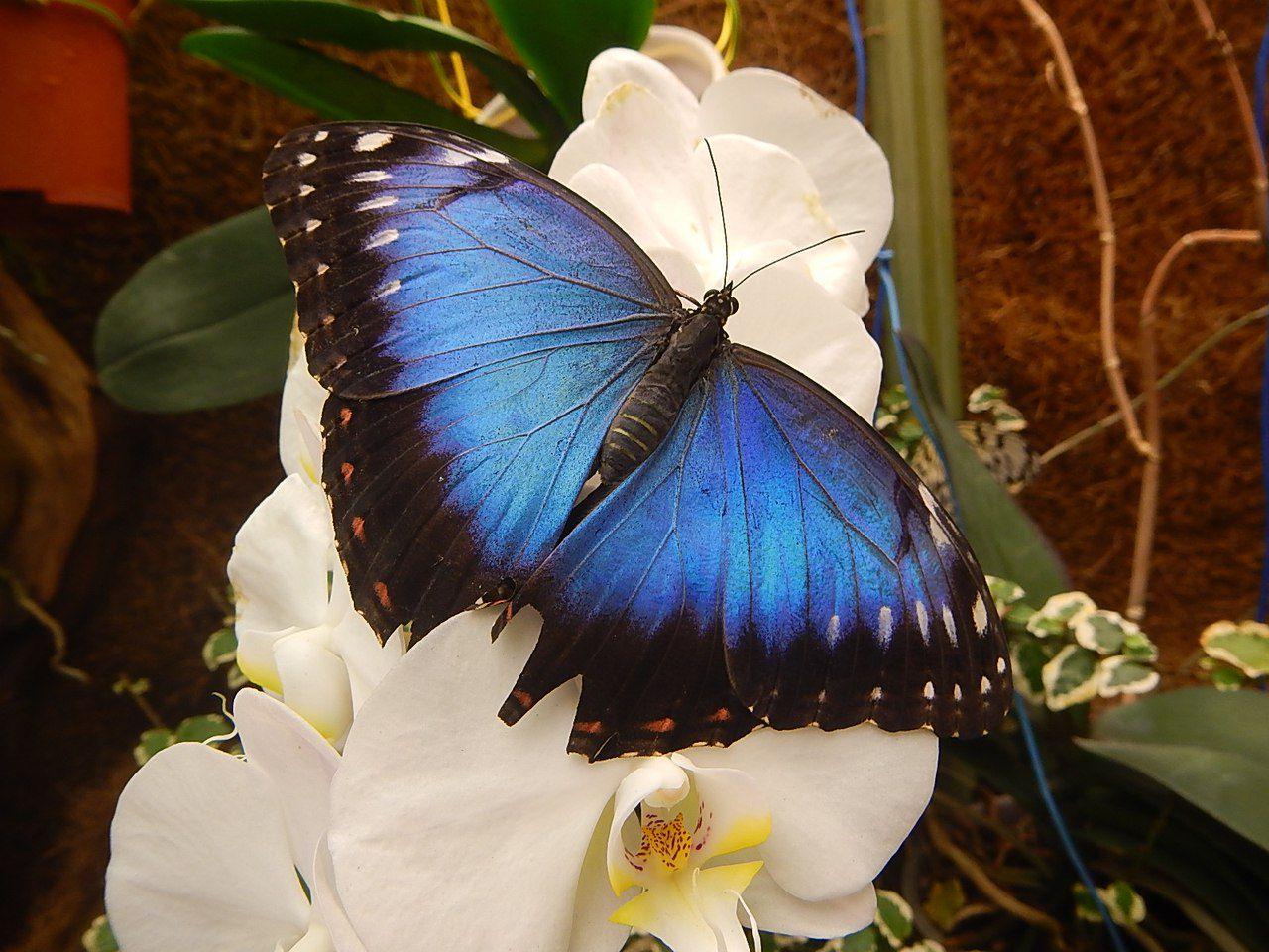 Названия бабочек тропических с картинками