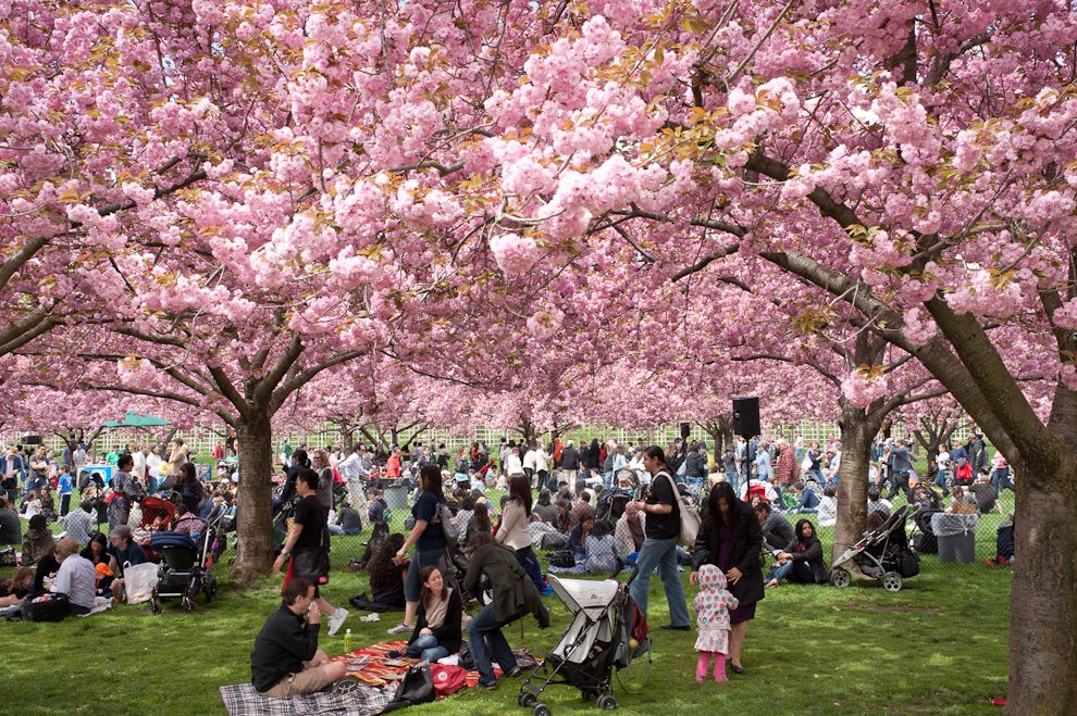 The Brooklyn Botanic Garden Cherry Blossom Festival Her Campus
