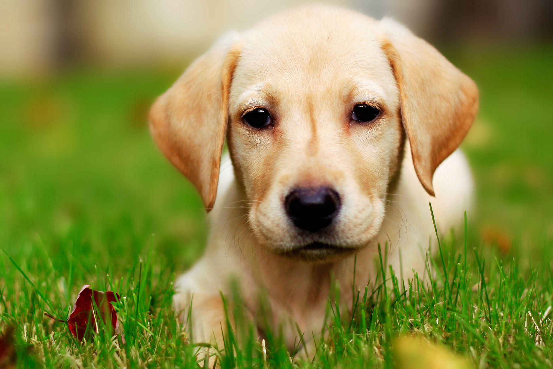 Labrador Wallpapers Backgrounds Images 1920x1080  Best