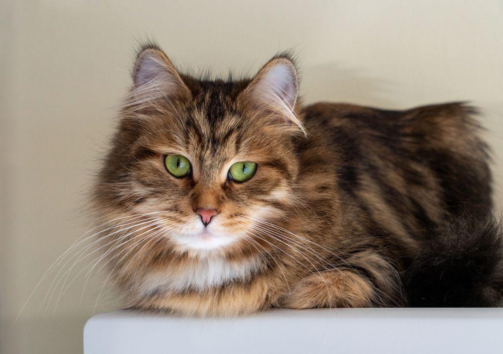 Выставка породистых кошек «Кубок Москвы. Московская весна»