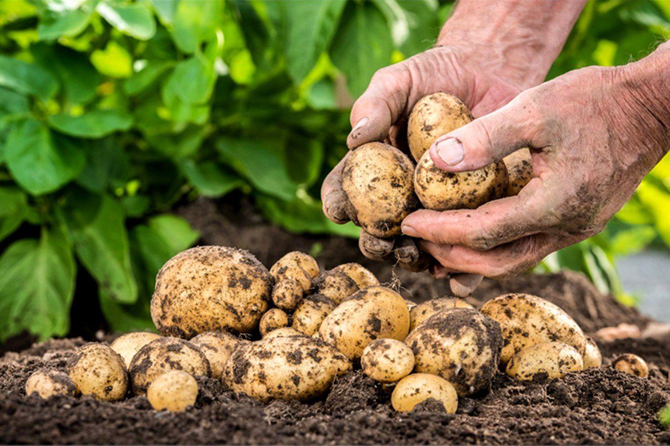 Проблемы выращивания лобелии 87