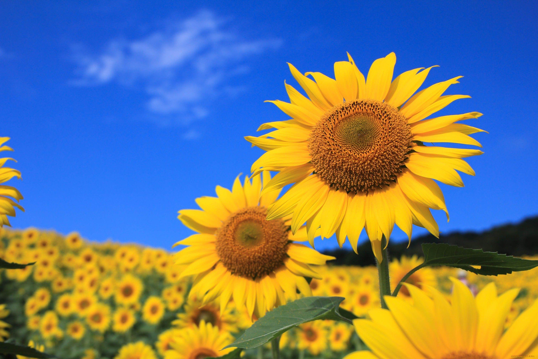 природа подсолнечник цветы nature sunflower flowers  № 2672058 бесплатно