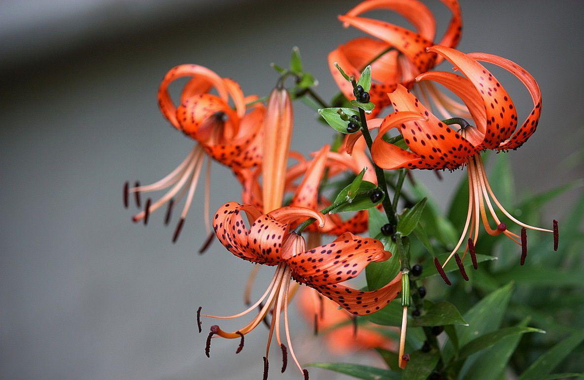 царские кудри цветы фото
