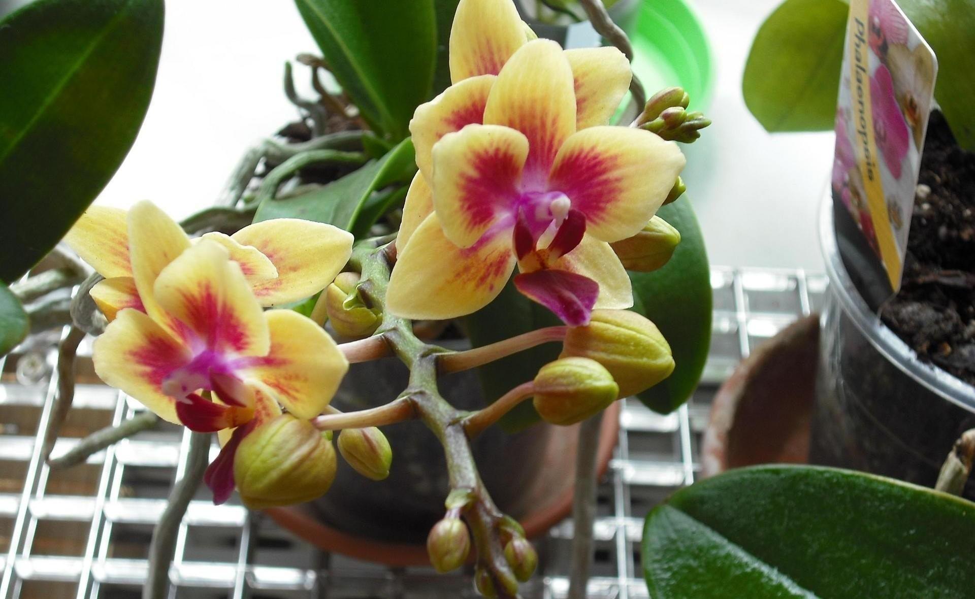 Что делать, чтобы зацвела орхидея Цветы орхидеи 28