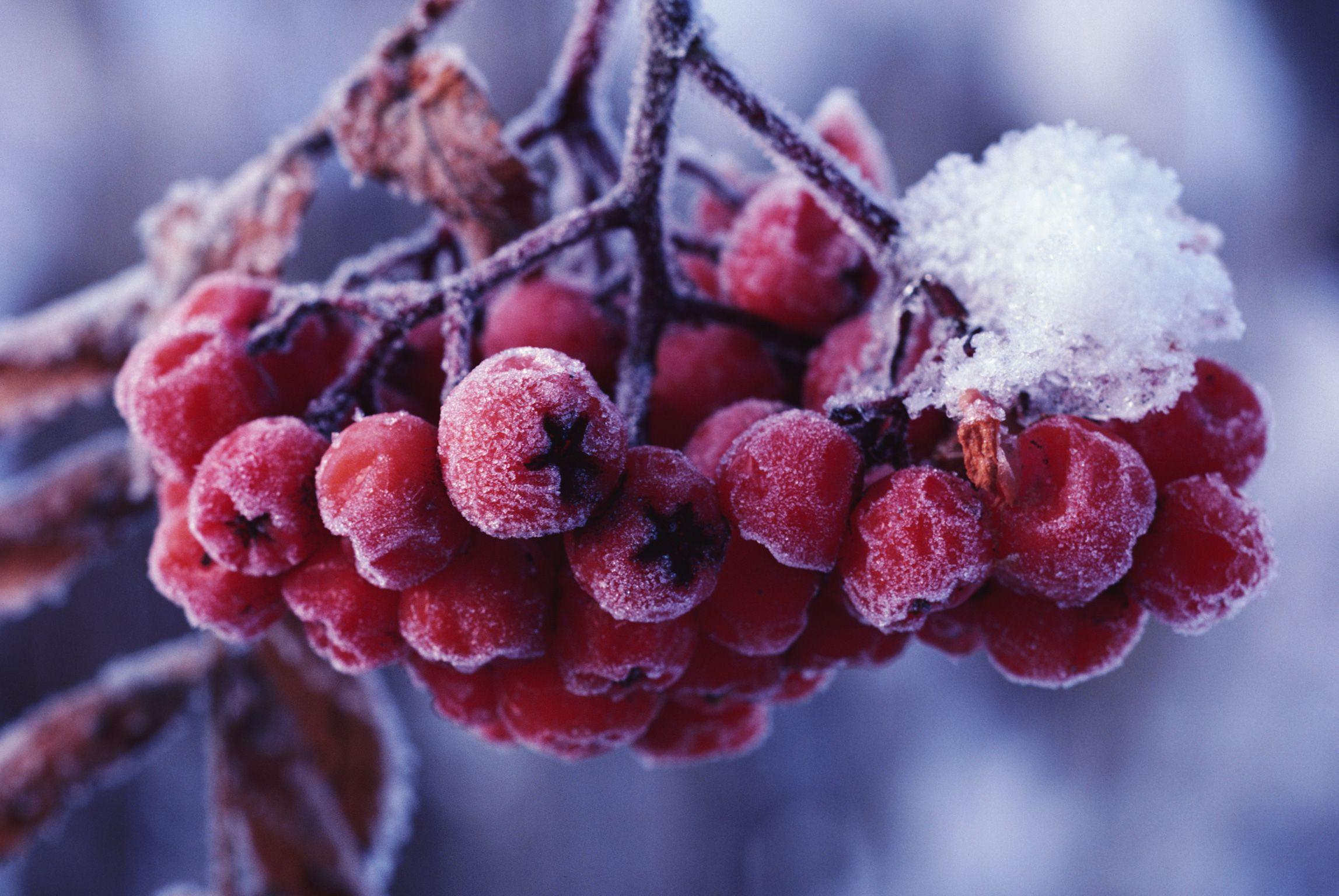 природа мороз рябина зима ветки еда ягоды  № 457104  скачать