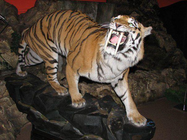 фото саблизубого тигра