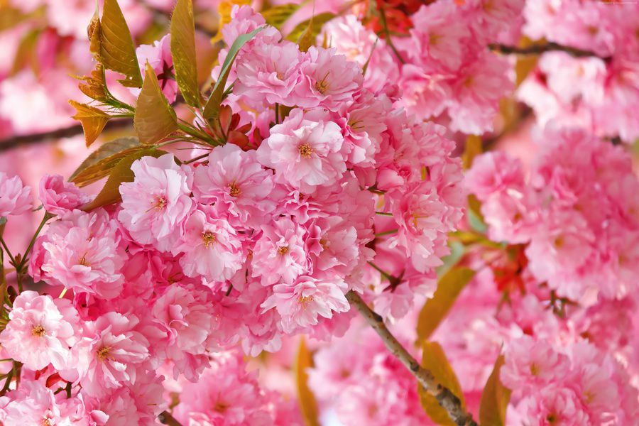 Цветение сакуры в «Аптекарском огороде»