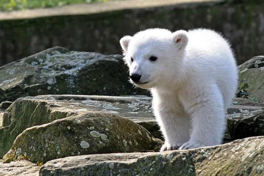 Насевере Красноярского края военные спасли белого медвежонка