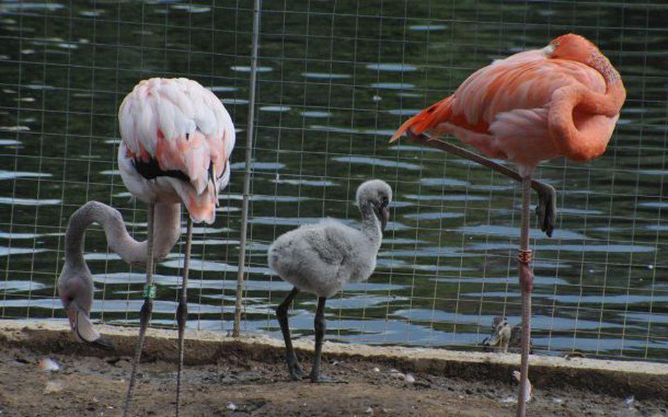 ВМосковском зоопарке родились 5 фламинго